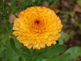 Lindert Entzündungen - die Ringelblume