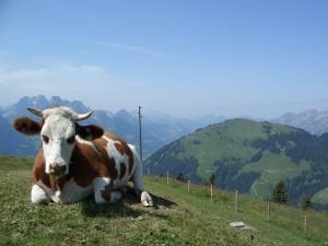 Immer ein gutes Motiv - das Simmertaler Rind