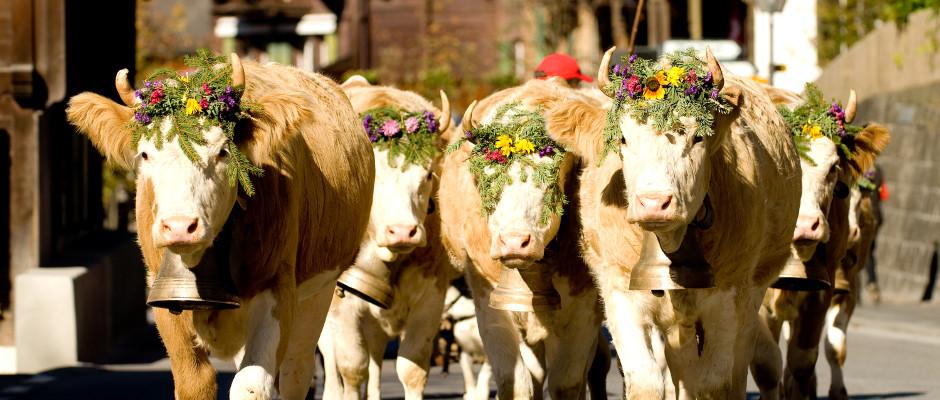 Allgegenwärtig in Gstaad-Sannenland - Das Simmentaler Rind